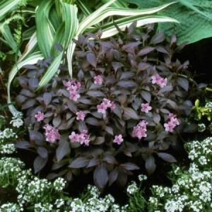 KRZEWUSZKA WEIGELA FLORIDA MIDNIGHT WINE 'ELVERA' MINIATUROWA