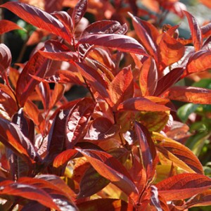 KRZEWUSZKA WEIGELA FLORIDA WINGS OF FIRE CZERWONA