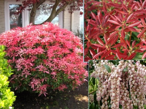 PIERIS MOUNTAIN FIRE SADZONKA 0,5 L