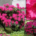 RODODENDRON AMERICAN BEAUTY RÓŻOWY 3L